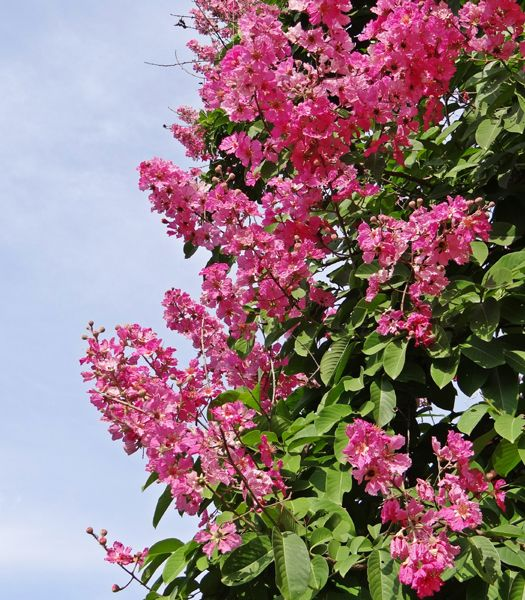 25 best ideas about lagerstroemia on pinterest crepe myrtle trees flowering trees and myrtle - Lilas des indes maladie ...