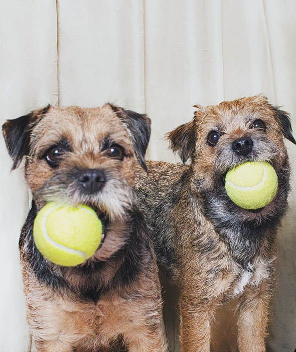 'We got the ball' - pair of Border Terrier Dogs