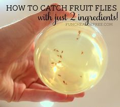 How to catch fruit flies: 2 ingredient death cocktail:  apple cider vinegar and a little dishsoap