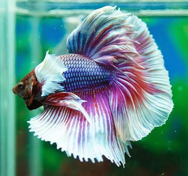 572 best images about my pet fish on pinterest copper for What is a beta fish