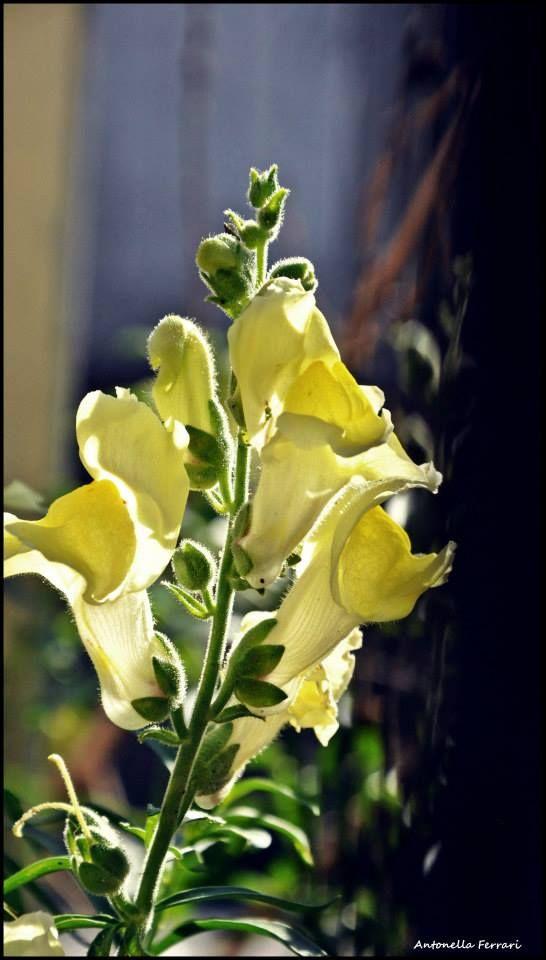 flower - yellow lemon