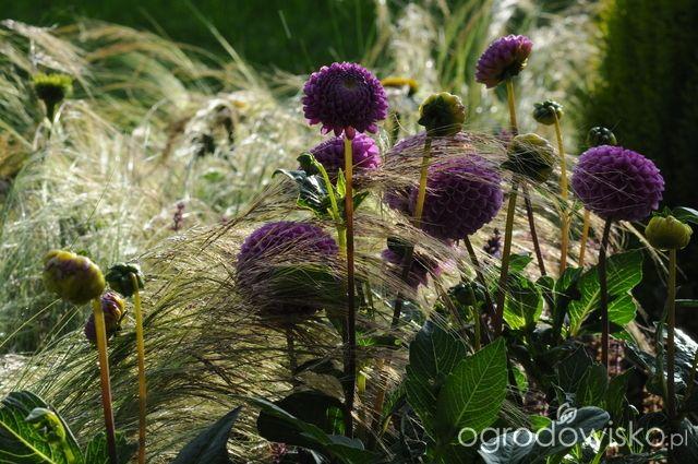 Jestem w polu - strona 655 - Forum ogrodnicze - Ogrodowisko