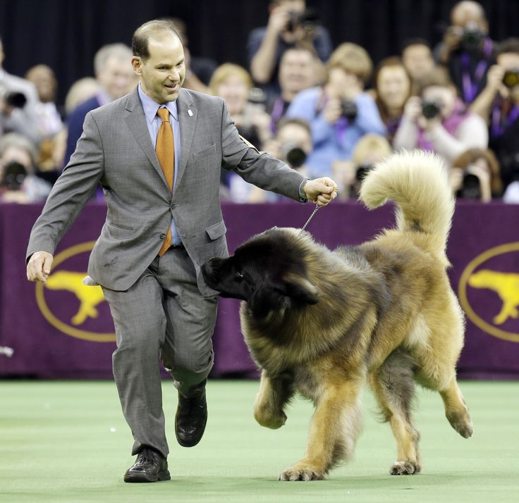 Dario the Leonberger is the Real Hero of the Westminster Dog Show