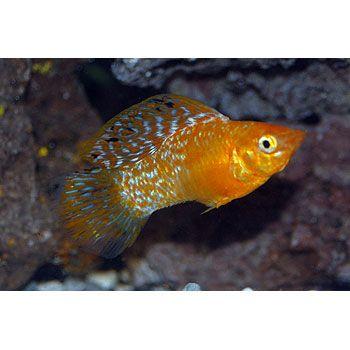 Red Dalmatian Sailfin Molly- freshwater community fish