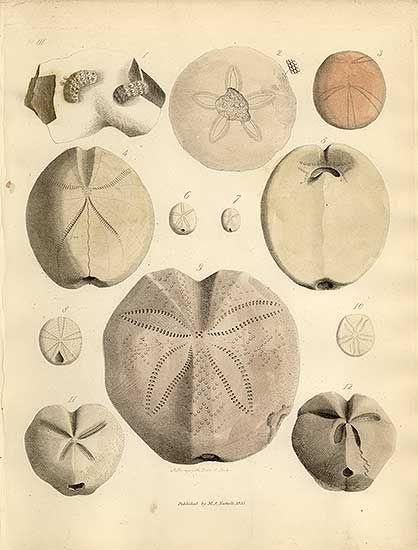 fossil sea urchin/sand dollar