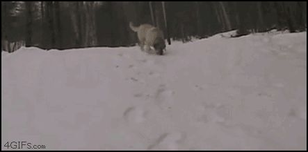 The dog who got winter figured out. | 33 Animal GIFs That Are Guaranteed To Make You Laugh