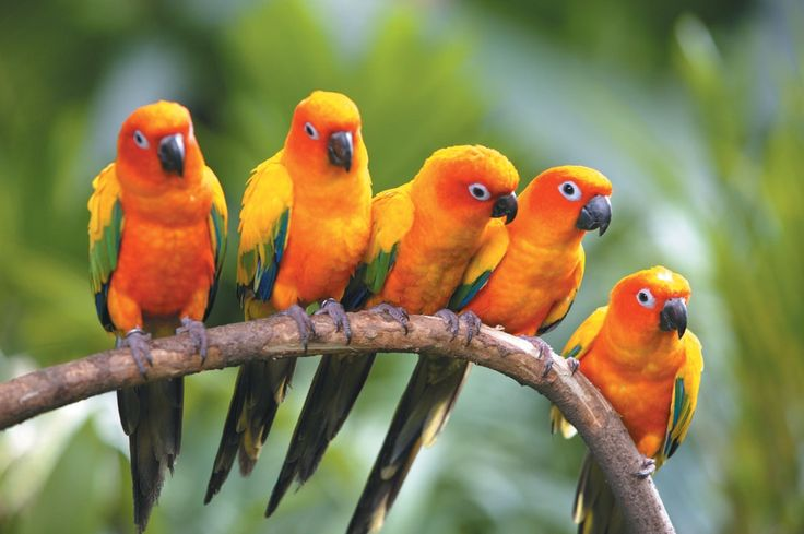 Peaceful family of sun conures
