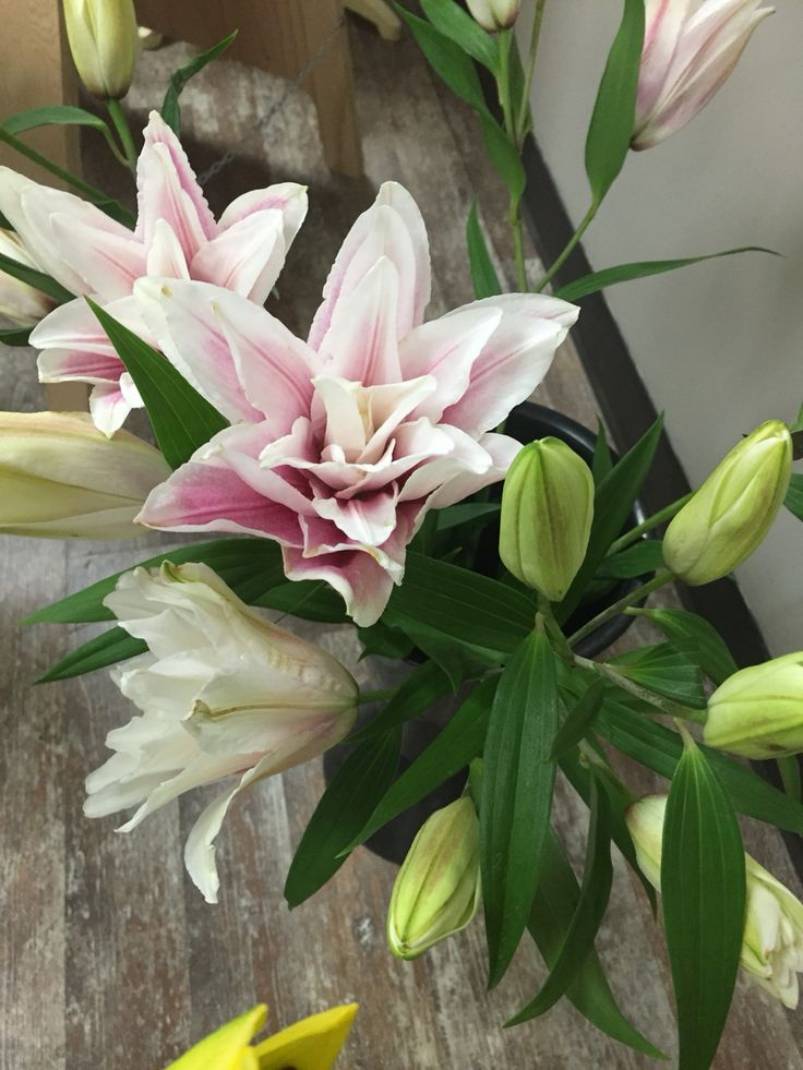 Pink and white rose lily.