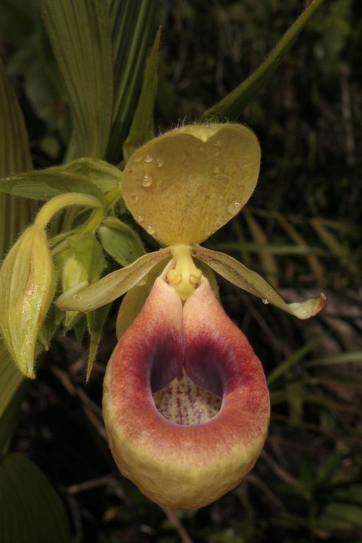 Orchid-Mimicry: Flower of Selenipedium aequinoctiale ...... Mimicking a Toilet with Lid (?) - Flickr - Photo Sharing!