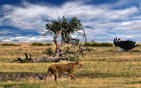 Top five safari parks for seeing lions in the wild - Telegraph