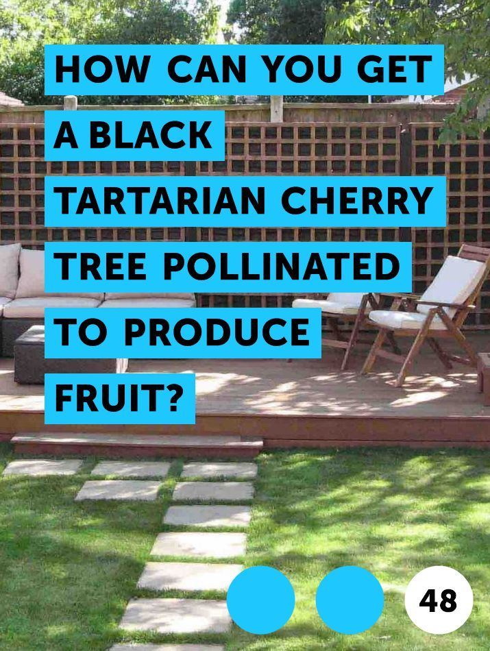 Learn How Can You Get A Black Tartarian Cherry Tree Pollinated To Produce Fruit How To Guides Tips And Tricks Black Cherry Tree Cherry Tree Pollination