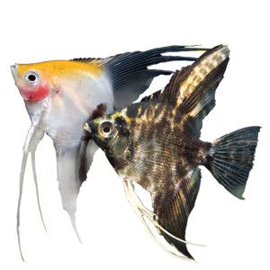 Angelfish Petsmart Aquariums Pinterest