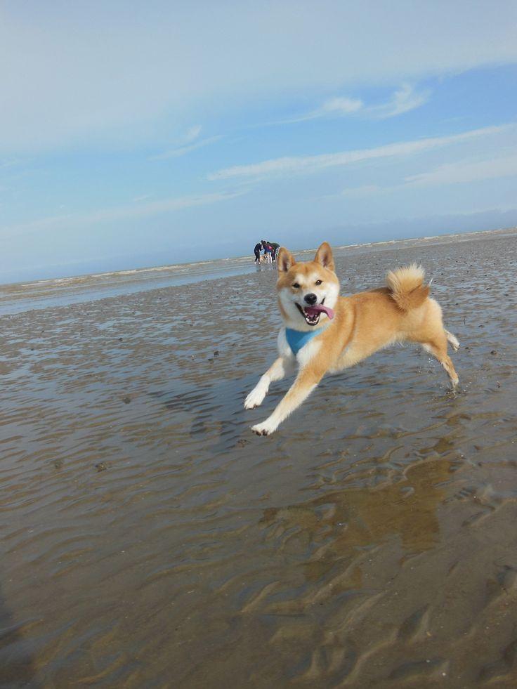 Shiba Inu on the beach