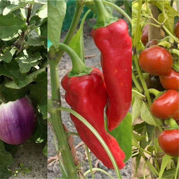 Réussir la culture de l´aubergine, du poivron et du piment - FERME DE SAINTE MARTHE