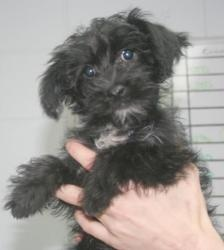 Fozzie - Yorkshire Terrier/Poodle mix
