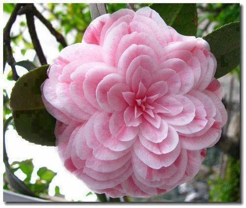 Camellia japonica (the Japanese camellia) is one of the best known species of the genus Camellia. Sometimes called the Rose of winter.
