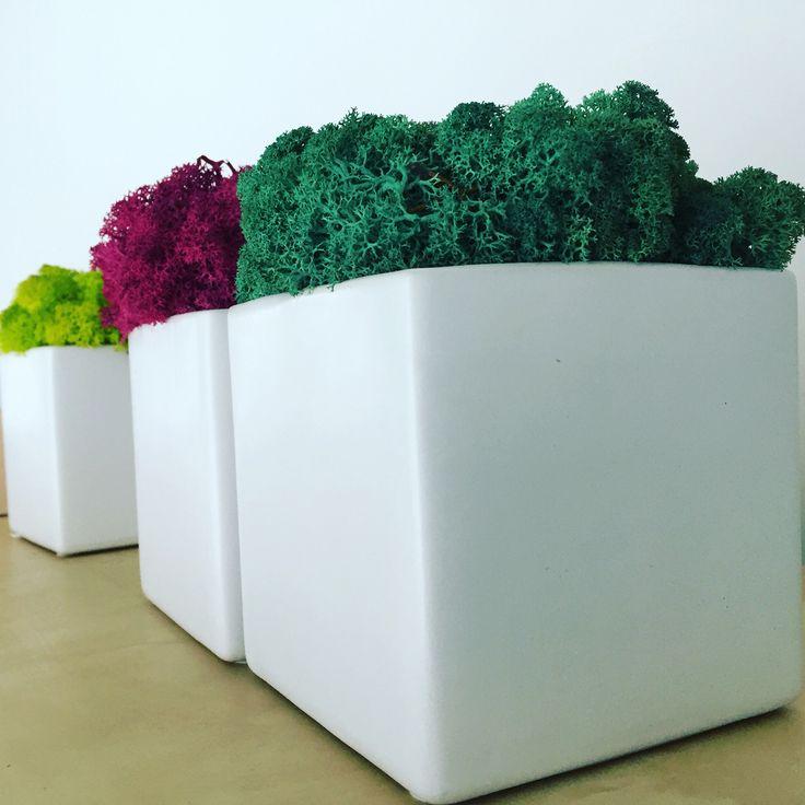 Lichen stabilisé bureaux plantes