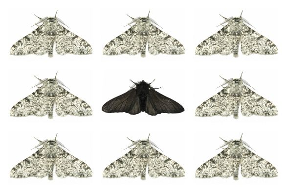 'Jumping gene' took peppered moths to the dark side http://www.sciencetotal.com/news/2016-06-jumping-gene-took-peppered-moths-to-the-dark-side/