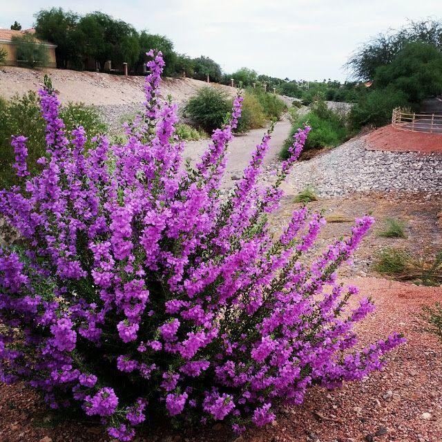 Wendys Hat: Flowering Shrubs {Garden}purple flowering texas sage.