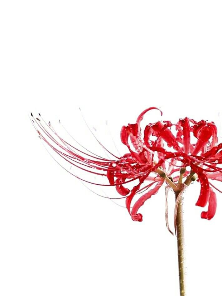 Red Spider Lily Tokyo Ghoul Recherche Google In 2020 Tokyo Ghoul Flower Anime Scenery Red Spider Lily