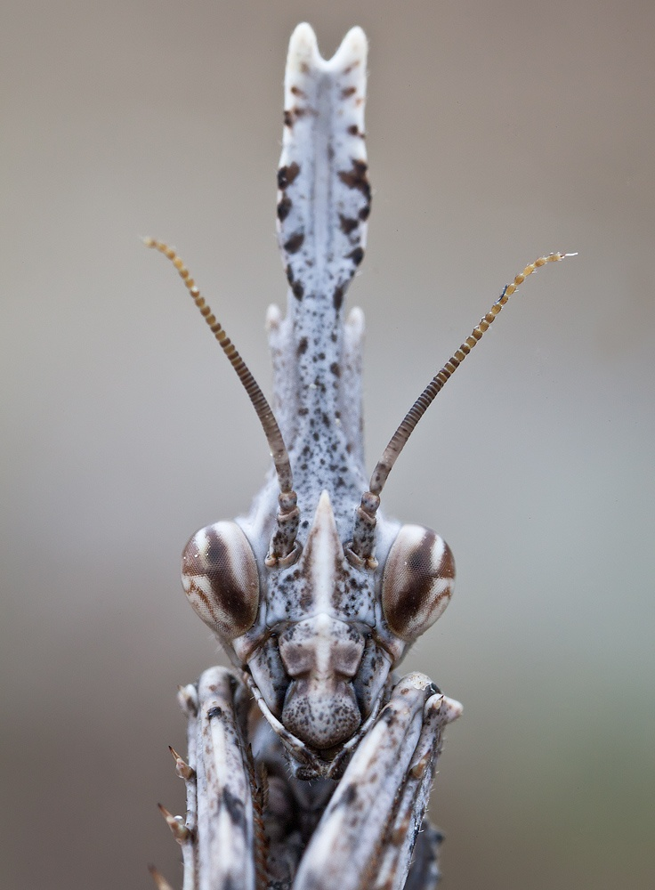 Empusa pennata, common names conehead mantis in English and mantis palo in Spanish, is a species of praying mantis in genus Empusa.