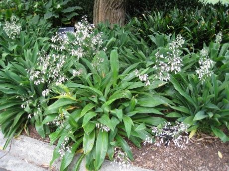 New Zealand Rock Lily