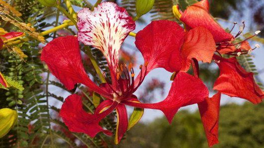 Delonix regia - great taxonomy resource