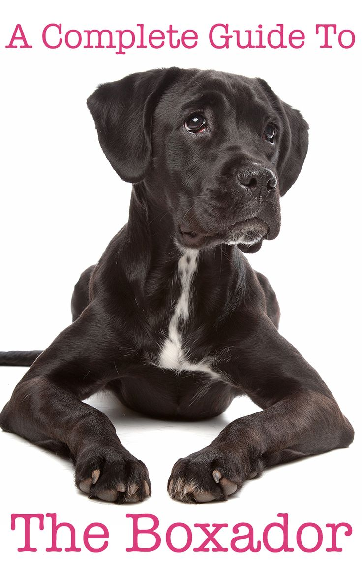 Beautiful black and white Boxador. A black and white Box Lab mix dog.