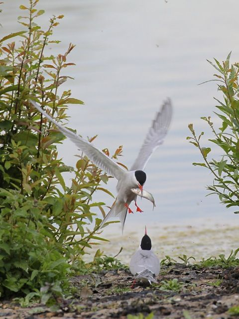 best thrupp lake radley images radley lakes common terns nesting acirccopy mark chivers acircmiddot radley