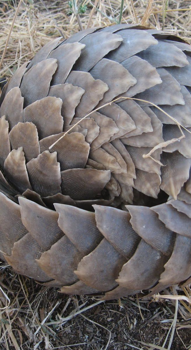 Pangolin HDQ Images  WMW Full HD Wallpapers For Desktop And 960×640 Pangolin Images Wallpapers (42 Wallpapers) | Adorable Wallpapers