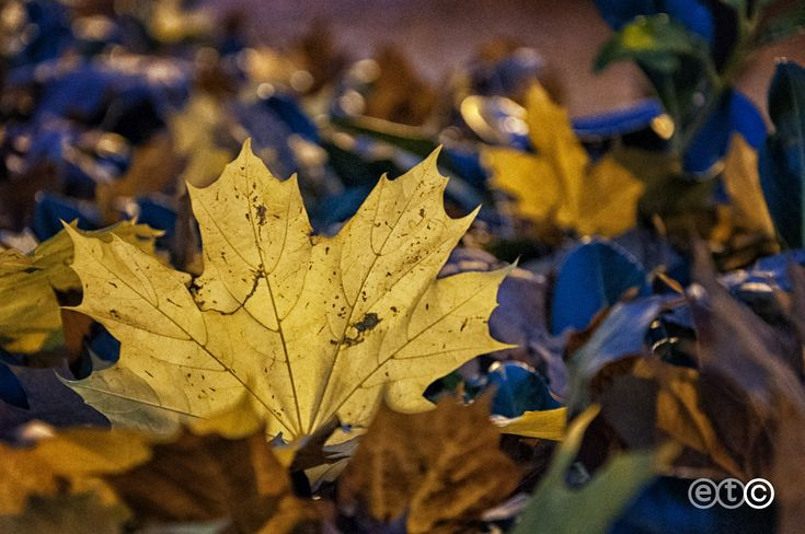https://flic.kr/p/AJ8oyr | Yellow leaf  in the blue hour