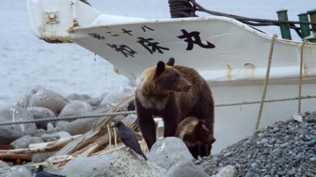 On Japan's Shiretoko Peninsula brown bears and fishermen have become relaxed in each other's company