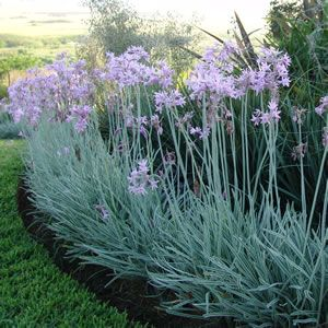Society Garlic Is A Member Of The Allium Family It Low Growing