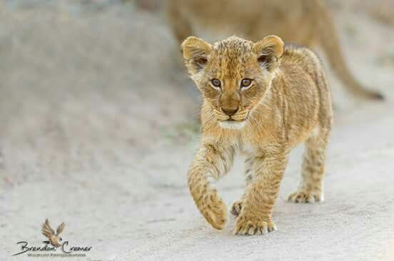 Lion cub, one of three