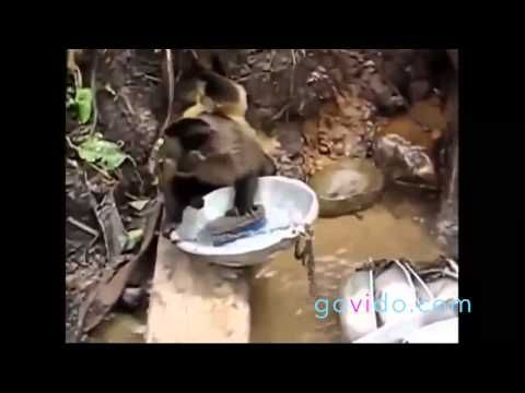 Best Funny Animal Videos ::: Monkey ::: Why do I have to do the dishes? ::: Visit us on www.govido.com to find THE FUNNIEST ANIMAL VIDEOS 2014 Funny Videos, Funny video 2014: cat, cats, dog, dogs, funny dogs, sweet dogs, animal, cute, pets, funny animals, puppies, PLUS: monkey, frog, kangaroo, buffalo, deer, bear, fish, ... and more! Hilarious short videos to make you laugh! :::