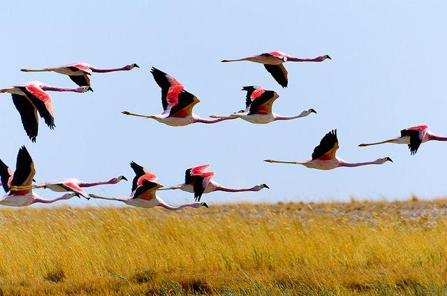 Bandada de Flamencos en pleno vuelo, en las cercanías de la laguna Cejar.