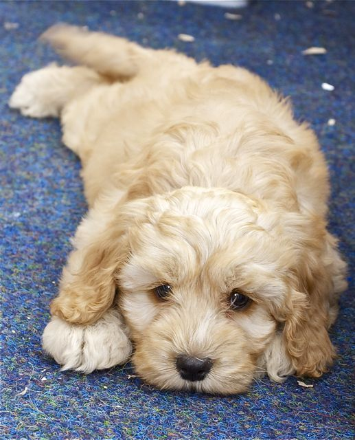 Cockapoo Puppy Photos - The Cockapoo Club of GB - CCGB - Tap the pin for the most adorable pawtastic fur baby apparel! You'll love the dog clothes and cat clothes! <3