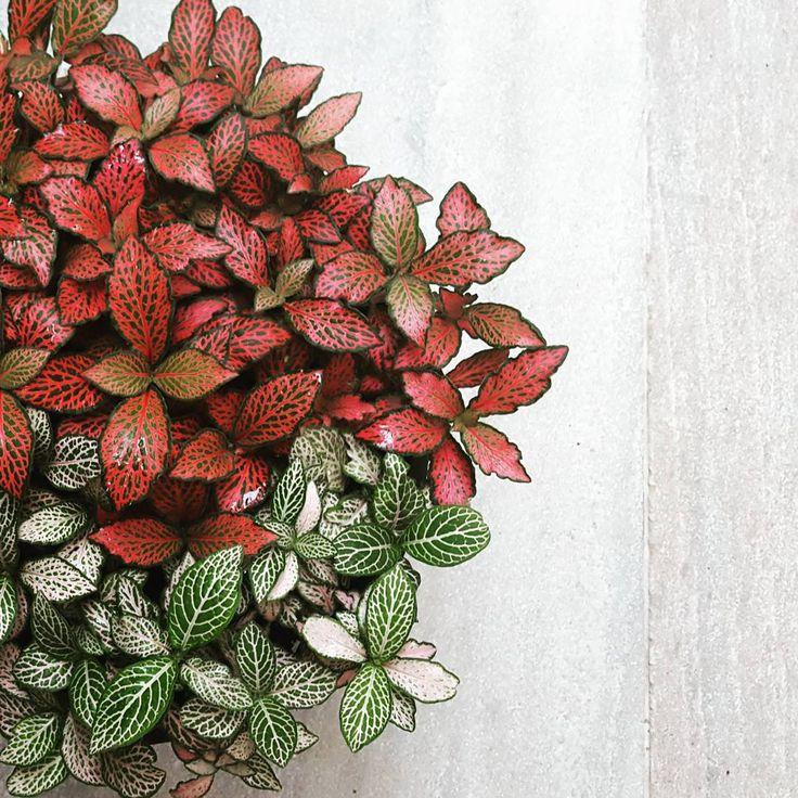 Основные требования фиттонии — регулярное опрыскивание и обильный полив в летнее время. Растение имеет много видов с разнообразной окраской листьев. Композиция из нескольких фиттоний в одном горшке — необычайно эффектное зрелище.