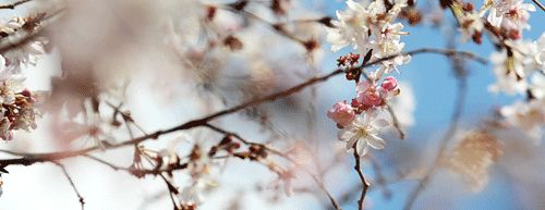 pbsthisdayinhistory:  March 27, 1912: The First Japanese Cherry Blossom Trees Are Planted in the U.S.On this day in 1912, the first two Japanese cherry blossom trees were successfully planted by First Lady Helen Taft and Viscountess Chinda on the Tidal Basin in Washington, D.C. Japanese Mayor Yukio Ozaki of Tokyo gave the U.S. over 3,000 trees to demonstrate the growing relationship between the U.S. and Japan.Every spring, Washington D.C. commemorates the initial planting through the…