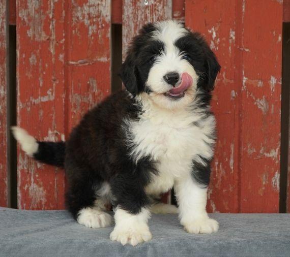 Sparky Bernedoodle Puppy 597864 Puppyspot Bernedoodle Puppy