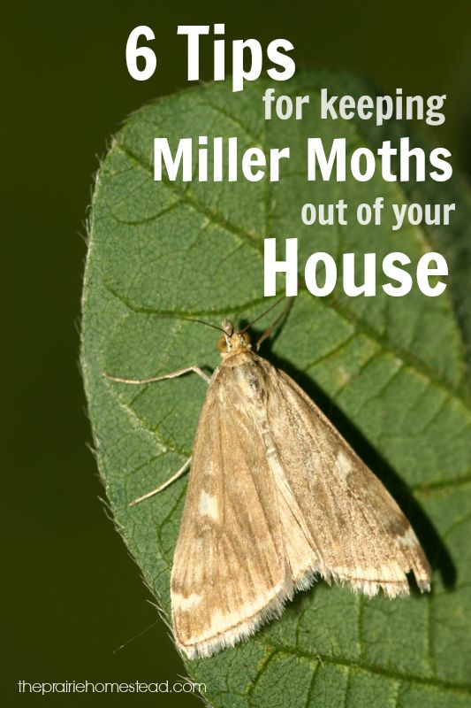 6 Ways To Keep Miller Moths Out Of Your House Best The Prairie Homestead Pinterest Homesteading Moth And