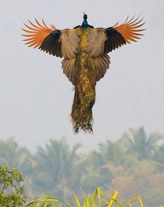 孔雀の飛んでいる姿が「まるで火の鳥」だと感嘆の声:らばQ