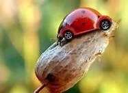 vw ladybug too cute!