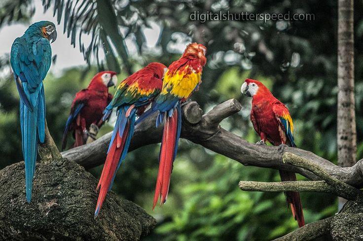Bird Park Singapore - the Macaws