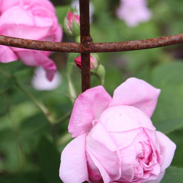 Rose Rack - Coupe d'Hébé - one of Jette Frölich's beautiful antique roses #coupedhebe #roses #antiqueroses #garden #jettesgarden #gardenvisits #garden #gardening #gardendesign #jettefrölich #jettefroelich #danishdesign #have #blomster #roser