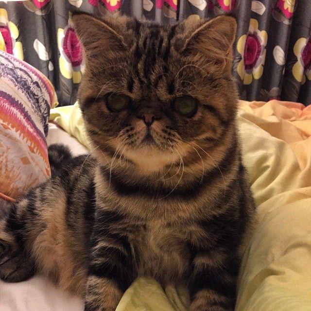 Short hair persian cat sacramento