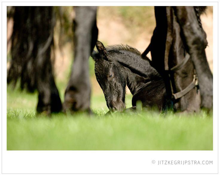 Fries paarden veulentje bij zijn moeder in het zonnetje