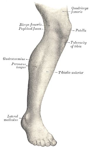 Human leg - Wikipedia