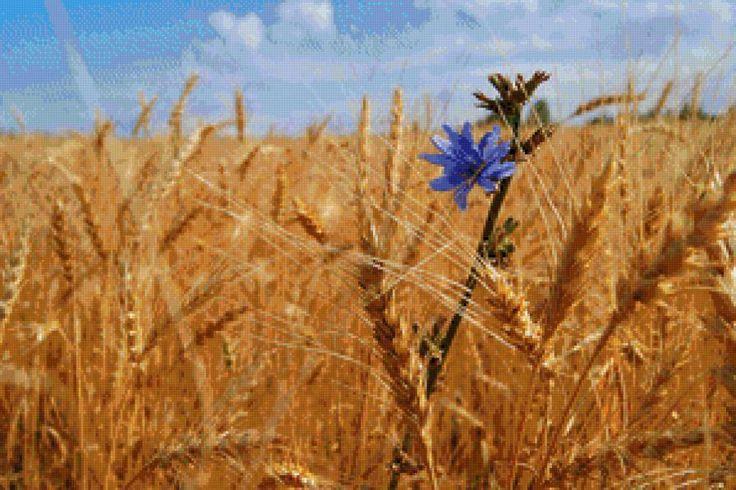 пшеница, предпросмотр