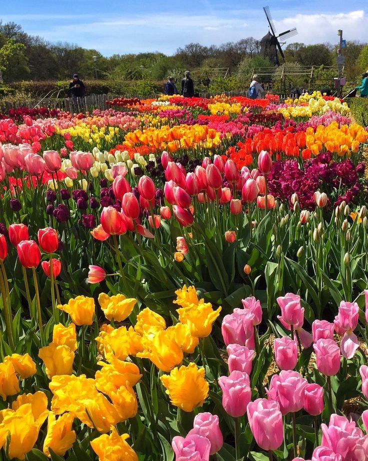 #nofilterneededforthisbeauty #nofilter #tulips #travel #travelgram #travellife #traveljunkie #malmö #myhood #malmöibilder #szwecja #sweden #loves_sweden #spring #springday #visitmalmo #beautifulworld #beautifulplaces #beautifuldestinations #beatiful #tulpaner #tulipany�� #tulipanomania http://tipsrazzi.com/ipost/1511374163600087758/?code=BT5estQFhrO